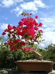Topiario de Trinitaria (Jardin Boricua) Tags: flowers flores topiary bougainvillea bonsai topiario trinitatia