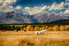 Tetons and horses - explore (Marvin Bredel) Tags: horses mountains color fall grass unitedstates explore aspens wyoming tetons moran whitehorse grandtetonnationalpark bredel marvinbredel
