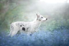 Cirilla  5 months old (Alicja Zmysowska) Tags: dog dogs puppy collie border slate merle