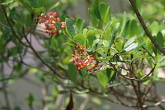 Long Key Locustberry (Byrsonima lucida) (Florida Birding Trail) Tags: wildflower threatened