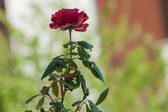 Majestic solitude (giovyskia) Tags: flowers wild flower nature rose loneliness oldstyle natural minolta bokeh sony rosa retro passion lonely alpha naturephotography sonyalpha sonya700