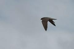 IMG_4386 (gipukan (rob gipman)) Tags: male tower female eos toren 7d kuikens slechtvalk olv langejan preybird canon24105lis tokina116