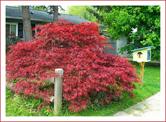Fence and Front Yard Library Near My Home (sjb4photos) Tags: fence michigan annarbor japanesemaple hff washtenawcounty fencefriday