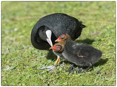 Coot with two of her six chicks (Linz27) Tags: explore coot universityofyork nikon70200f4 nikond7100 copyrightlindseybowes