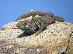 The most beautiful lizard-Great Basin Collared lizard-joshua tree nat. park (gskipperii) Tags: beautiful nationalpark rocks pretty reptile gorgeous joshuatree lizard oasis herp sunning 49palms collaredlizard lotsofcolors greatbasincollaredlizard