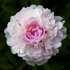 Pivoine (Gerard Hermand) Tags: park pink white paris france flower macro fleur rose closeup canon peony parc blanc pivoine bagatelle formatcarr eos5dmarkii gerardhermand 1605211921