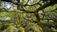 Wistman Wood (Chris Martin Photography) Tags: wood old uk england tree green forest oak ancient devon dartmoor wistman