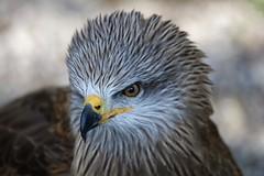 he is very interested (Hugo von Schreck) Tags: bird eagle adler vogel onlythebestofnature tamronsp150600mmf563divcusda011 canoneos5dsr hugovonschreck
