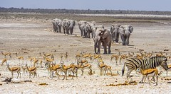 DSC00511-20150924 (C&P_Pics) Tags: na zebra waterhole namibia springbok africanelephant burchellszebra etoshanationalpark oshikoto halalicamptookaukuejocamp
