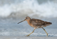 Surf Stroll (PeterBrannon) Tags: ocean bird beach nature sand surf florida wildlife shorebird limnodromusgriseus shortbilleddowitcher lowpov