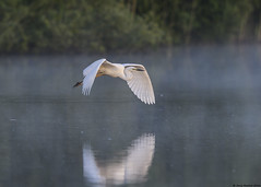 Great white egret : Ardea alba (Jerry Hawker) Tags: birds fly flying inflight flight somerset egret bif greatwhiteegret ardeaalba rspb somersetlevels hamwall rspbhamwall jerryhawker