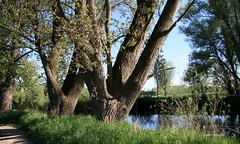 29-IMG_1426 (hemingwayfoto) Tags: dick natur pflanze fluss landschaft baum rinde leine esche ruhig laubbaum regionhannover