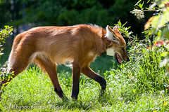 Lobo-guar (fbferreira) Tags: chrysocyonbrachyurus mhnenwolf