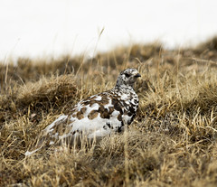 Posing: The White-tailed Ptarmigan (mharoldsewell) Tags: nikon colorado photos rockymountainnationalpark whitetailed 2016 whitetailedptarmigan lagopusleucurus mharoldsewell mikesewell d7200