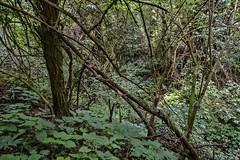 BOSCAGLIA IN VALTRAMIGNA (gianmaria.colognese) Tags: foglie rami sottobosco boscaglia