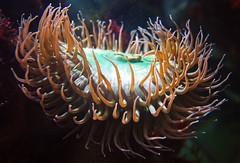 Tentacle Crown (Schelvism) Tags: montereybayaquarium cnidaria