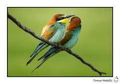 Gupiers d'Europe 2016 (Naturedicidela) Tags: nikon photographie wildlife rhne animaux oiseaux afrique migrateur 300mmf4 rhnealpes gupiers affut metelli guepiersdeurope naturedicidela toniometelli