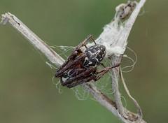Larinioides cornutus (creaturesnapper) Tags: europe spiders greece araneae kerkini orbweavers larinioidescornutus