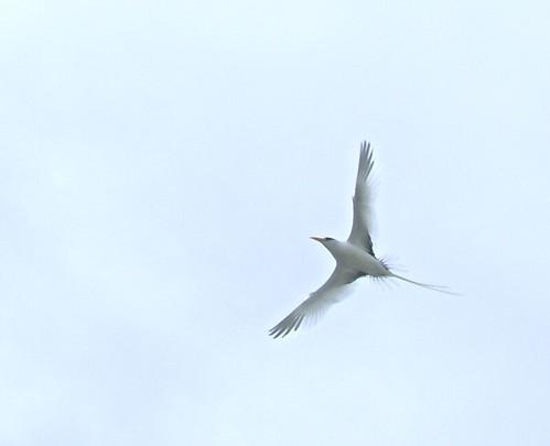 Longtail in flight