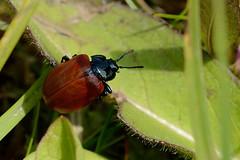 Poplar Leaf Beetle Chrysomela populi Upton NWT (JohnMannPhoto) Tags: upton nwt beetle red poplar leaf