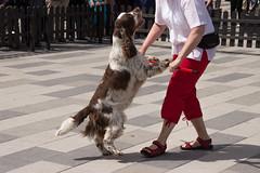 Lets dance! (Yvonne L Sweden) Tags: dog dogs sweden hund springerspaniel arlo eskilstuna hundar 160622 fristadstorget hundshow sommartorget
