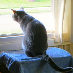 Millie 25 May 2016 9204Ri sq (edgarandron - Busy!) Tags: cats cute cat feline tabby kitty kitties tabbies millie graytabby