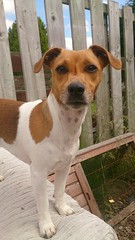 Lily..... (wazzle1) Tags: dog jackrussell terrier