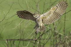 Burrowing Owl (Best Practices) Tags: bird owl burrowingowl bestpractices