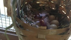 Finch Chicks ( / Jiayin Ma) Tags: baby bird birds nest egg chick finch eggs chicks