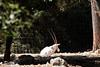 Oryx d'Arabie (tautaudu02) Tags: oryx arabie zoo lunaret montpellier musée museum animaux animals