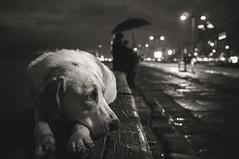 zmir noire (anilaydn) Tags: street bw dog rain turkey fuji homeless fujifilm popular izmir alsancak noire x100 vsco x100s littledoglaughednoiret