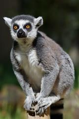 Ready to jump (greenzowie) Tags: mammal zoo edinburgh lemur edinburghzoo 2016 photographyworkshop greenzowie