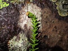 Foliage and immature female cone of Dacrydium cupressinum (dracophylla) Tags: newzealand rimu podocarpaceae dacrydiumcupressinum codfishisland whenauhoa