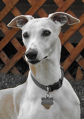 My Boy (DiamondBonz) Tags: dog pet hound handsome whippet spanky