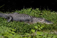 National Zoo  (1284) Alligator (smata2) Tags: zoo gator reptile alligator nationscapital smithsoniannationalzoo itsazoooutthere zoosofnorthamerica