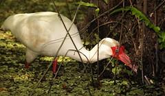 3S5X1729  Looking for Crayfish (Eileen Fonferko) Tags: bird nature its animal wildlife