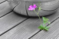 Storchschnabel (neongelbschwarz) Tags: bw lines pflanze sw blume geranium linien kurven storchschnabel