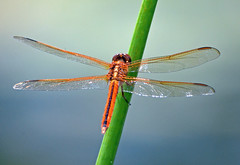 Needham's Skimmer (Stan in FL) Tags: park county garden flying florida dragonflies dragonfly insects leesburg fl sumter skimmer venetion odonata needhams needhami libellua