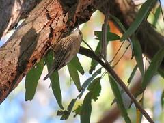 Cormobates leucophaeus 7 (barryaceae) Tags: road park lighthouse rocks lakes australia national seal nsw sugarloaf myall treecreeper whitethroated kinka leucophaea cormobates ausbird ausbirds