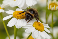 Between two stools (Harald Schnitzler) Tags: flower macro closeup insect bee bumblebee insekt biene feverfew mutterkraut