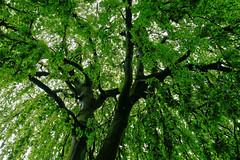 Buche in Hiltrup - 2016 - 0013_Web (berni.radke) Tags: tree giant baum beech mnster buche colossus riese hiltrup