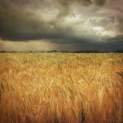 Field of Gold (M a r i k o) Tags: camera summer field barley mobile clouds germany square bayern bavaria gold golden moody cloudy feld aufkirchen squareformat glowing mariko iphone superimpose gerste erding mobilephotography iphonephotography iphoneography hipstamatic phototoaster iphone6s