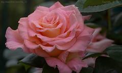 Just a rose.. (Ollie_57.. on/off) Tags: uk england plant flower macro nature june rose petals spring bush flora bokeh rosa devon 7d bloom teignmouth 2016 tamronsp90mm ollie57 affinityphoto