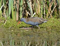 Water Rail at Brandon Marsh (robmcrorie) Tags: ted bird nature water wildlife birding brandon reserve rail hide marsh coventry warwickshire jury