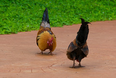 Fighters (Igor Sorokin) Tags: birds roosters us usa kauai island hawaii travel dslr nikon d5300 nikkor 18300 telephoto zoom
