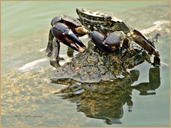 Cancro... sono io (aNNa schramm) Tags: lagune animal fauna wasser italia outdoor cancer lagoon spiegelung tier krebs reflexe cancro