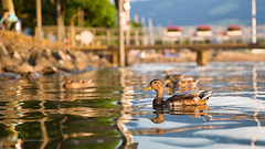 ~ holiday symphony ~ (SteffPicture) Tags: holiday schweiz see duck ente rapperswil seezrich steffpicture