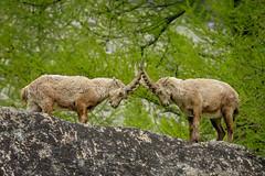La sfida (marypink) Tags: piemonte bovidae mammalia stambecco artiodactyla capraibex alpineibex caprinae parconazionalegranparadiso ceresolereale valleorco nikkor80400mmf4556 nikond7200