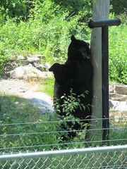 Scratching is good! (Quevillon) Tags: bear canada mammal zoo montral qubec americanblackbear sainteannedebellevue ecomuseumzoo