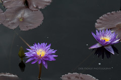 Ultraviolet Tropical Waterlily (dmoranphotog) Tags: waterlily purple cbg chicagobotanicgardens
